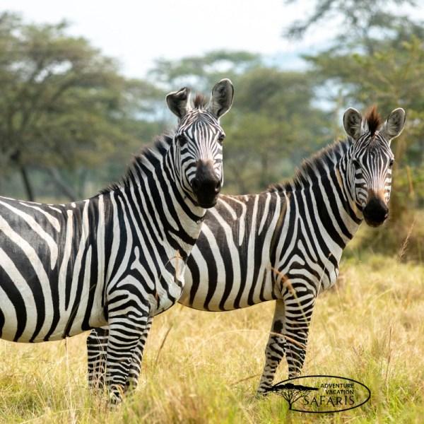Zebras (Equus quagga) at Lake Mburo National Park