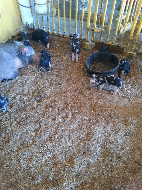 Baby Pigs! First time I've got to see baby pigs at the Fair.