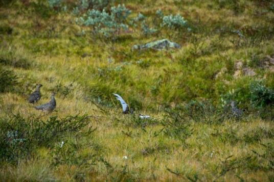 Ptarmigans in fall shrouds