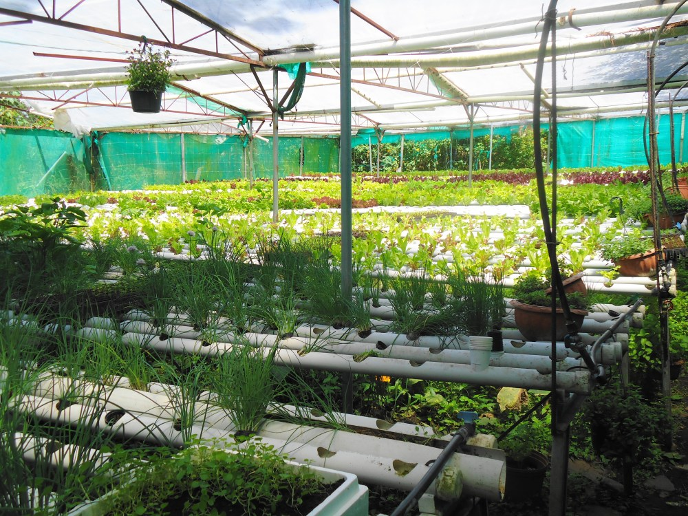 The Organic, Hydroponics Greenhouses of Boquete, Panama (4/6)