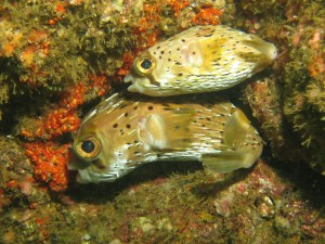 Puffers resting together in the rocks in Costa Rica