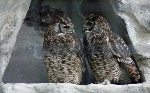 Owls at Parque Condor Bird rehab facility in Otavalo in Ecuador Andean Highlands
