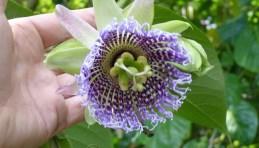 Passionflower on the Hacienda - Cotacachi, Papallacta, Atahualpa