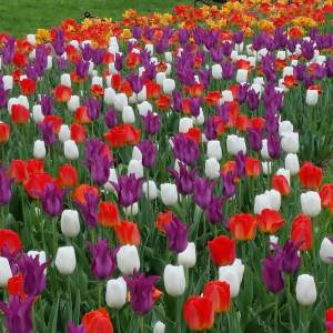 Tulips at Peddlers VIllage