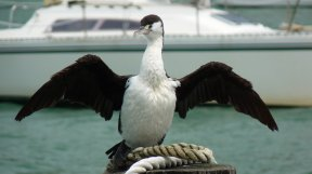 Akaroa New Zealand - Shag drying its wings in Akaroa Harbour