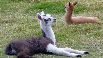 Baby llamas in Te Anau