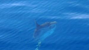 Tutukaka Poor Knights islands - Ocean sunfish - Mola-mola