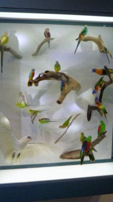 Parrot display at Darwin's Museum and Art Gallery