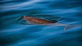 Exmouth Ningaloo dugong photo credits kissthedolphin