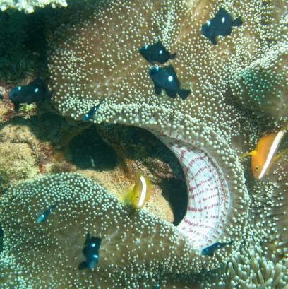 Muiron Ningaloo Reef black spotted clownfish and anemone