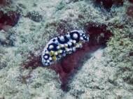 Nudibranch near Muiron Islands + Ningaloo Reef