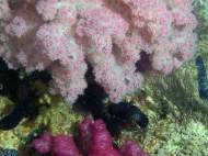 Soft corals around Ningaloo Reef