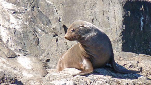 Tasman Island fur seal
