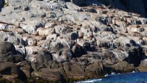 Tasman Island fur seals sunning on rocky shore