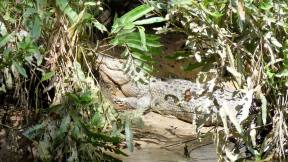 Large crocodile rests on bank of the Daintree River