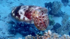Cuttlefish, image credit Sola Hayakawa