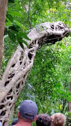 Fig tree structure