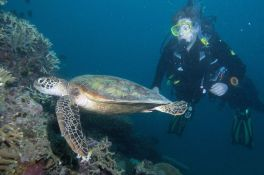 Hawksbill turtle on night dive, image credit Sola Hayakawa