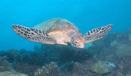 Hawksbill turtle image credit Sola Hayakawa