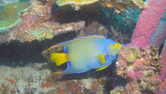 Colorful Queen Angelfish in Curacao