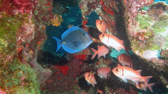 Big eye squirrel fish and blue tang