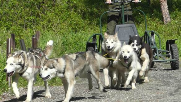 Sled dogs pulling a summer-time training sled in Denali NP