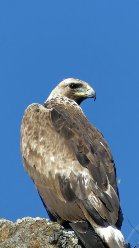 Golden eagle pearched by roadside in Denali National Park