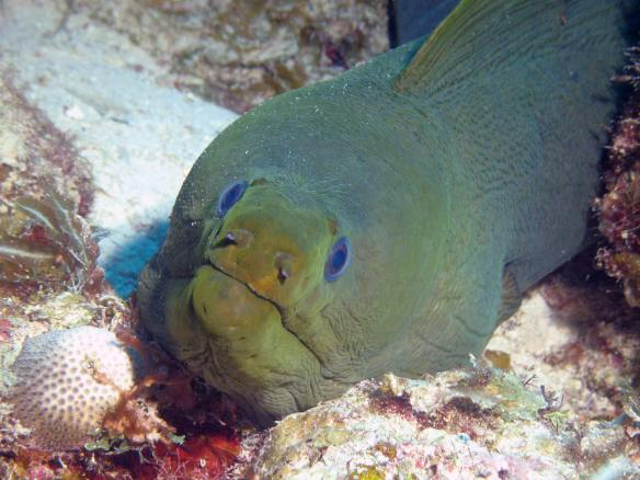 dive-curacao-see-green-moray-eel