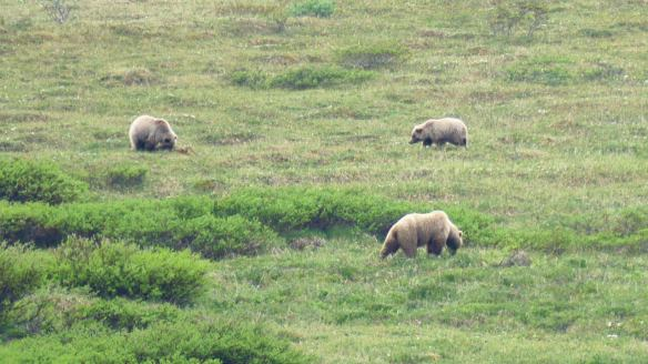 Grizzly bears foraging in Denali National Park