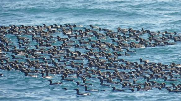 Common-Murres-spotted-onour-way-to the-fishing-location