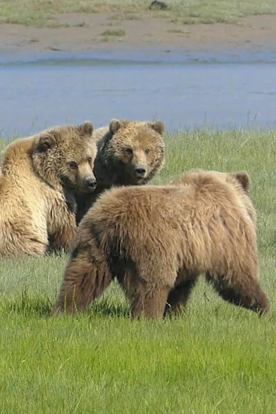 Wilderness Bear Viewing at Lake Clark National Park in Alaska