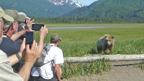 Grizzly bear leaving meadow and passes close to tour group