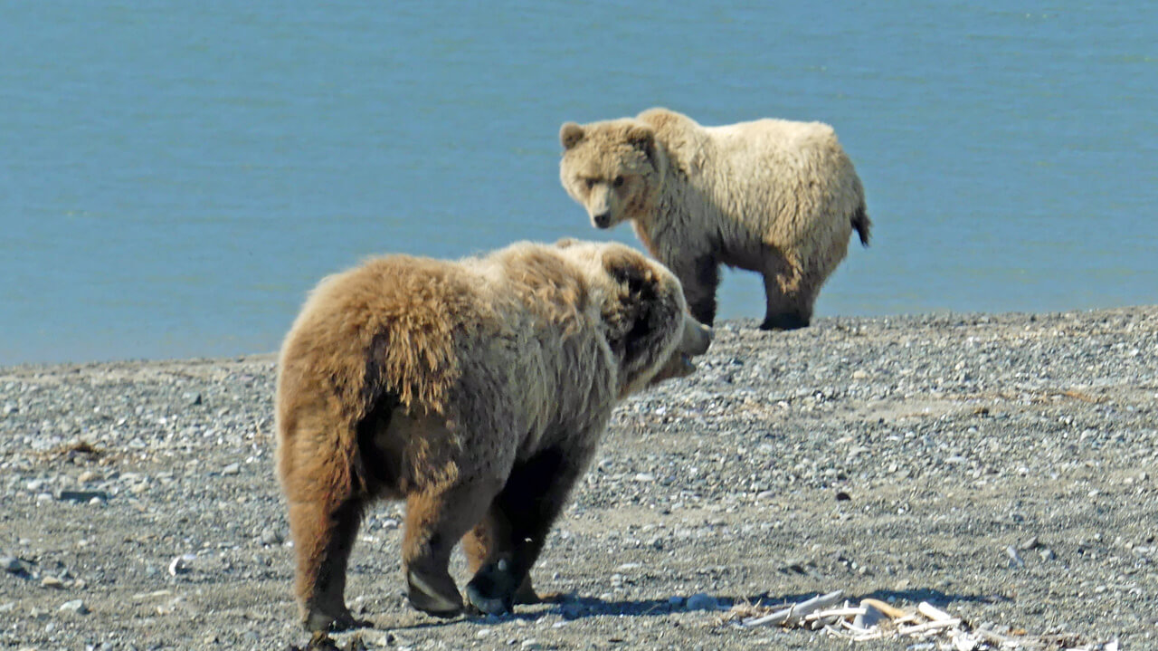 Wilderness Bear Viewing and in Alaska National Park
