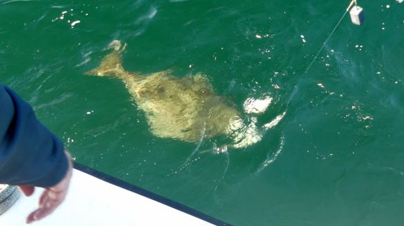 Halibut near the surface of the water