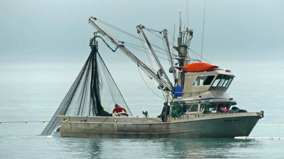 Purse seine fishing for salmon in Prince WIliam Sound
