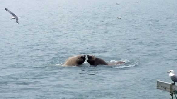 To Paid and Free Things to DO in Valdez - Two Steller sea lion bulls fight for prime position at Solomon Gulch hatchery