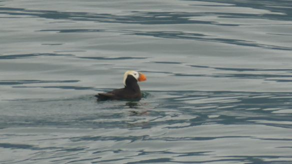 Tufted puffin floats in Prince WIlliam Sound