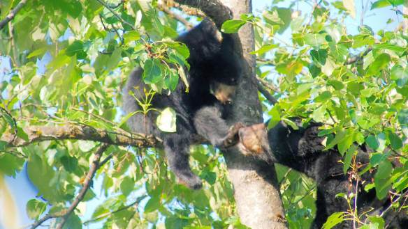 Bear cub and mother in tree