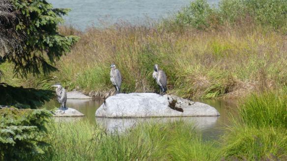 Trio of Great Blue Herons perched on rocks near Mendanhall Gacier lake.