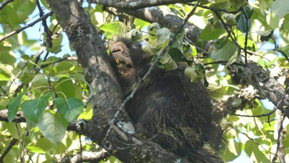Yawning porcupine in tree.