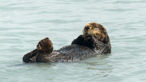 Sea Otter seen in Resurrection Bay, Seward, Alaska