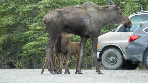 How to Plan Anchorage-Denali national park 7-Night Itinerary-Moose and calves roadside