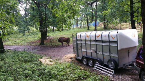 WWF și Rewilding Europe vor crea un centru de reproducere a zimbrului în Hunedoara