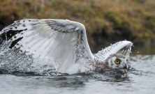 10-snow-owl-flying-670