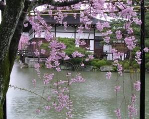 cherry blossoms in Kyoto (c) Alison Blackman