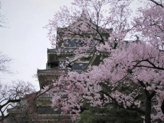 ancient castle with cherry blossoms in japan