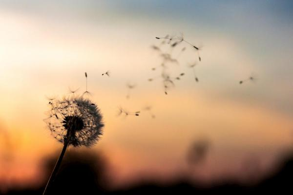 Graines de fleur de pissenlit qui s'envolent sur fond de soleil couchant