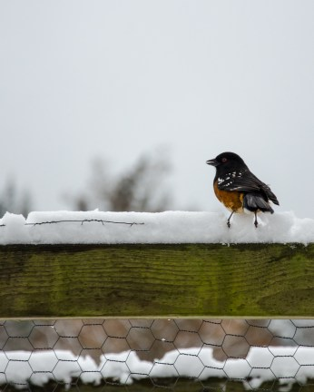 Spotted Towhee (calling)