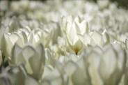 keukenhof-holland-tulips05