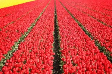keukenhof-holland-tulips10